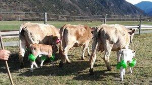 Vacas y terneros con flotadores en protesta por el veto de la ACA al festival Doctor Music, en un prado de Escalarre, este miércoles.