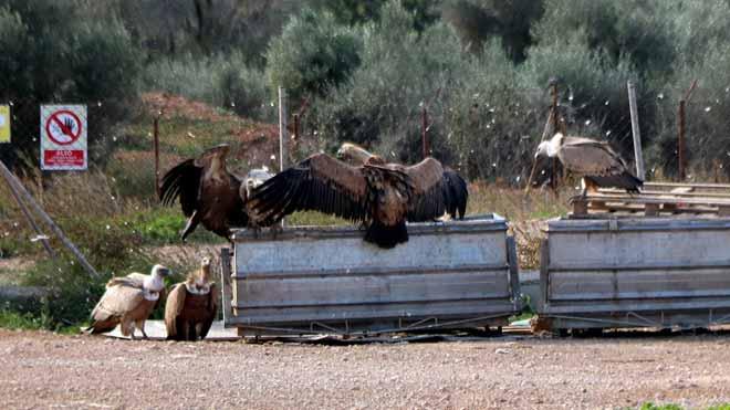 Buitres comen restos de animales en contenedores de una granja de Vinallop (Baix Ebre).