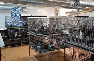 El criadero ilegal de chihuahuas encontrado en Madrid.
