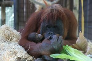 Un orangután del Zoo de Barcelona con su cría.
