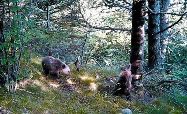Los osos afianzan su vida en el Pirineo
