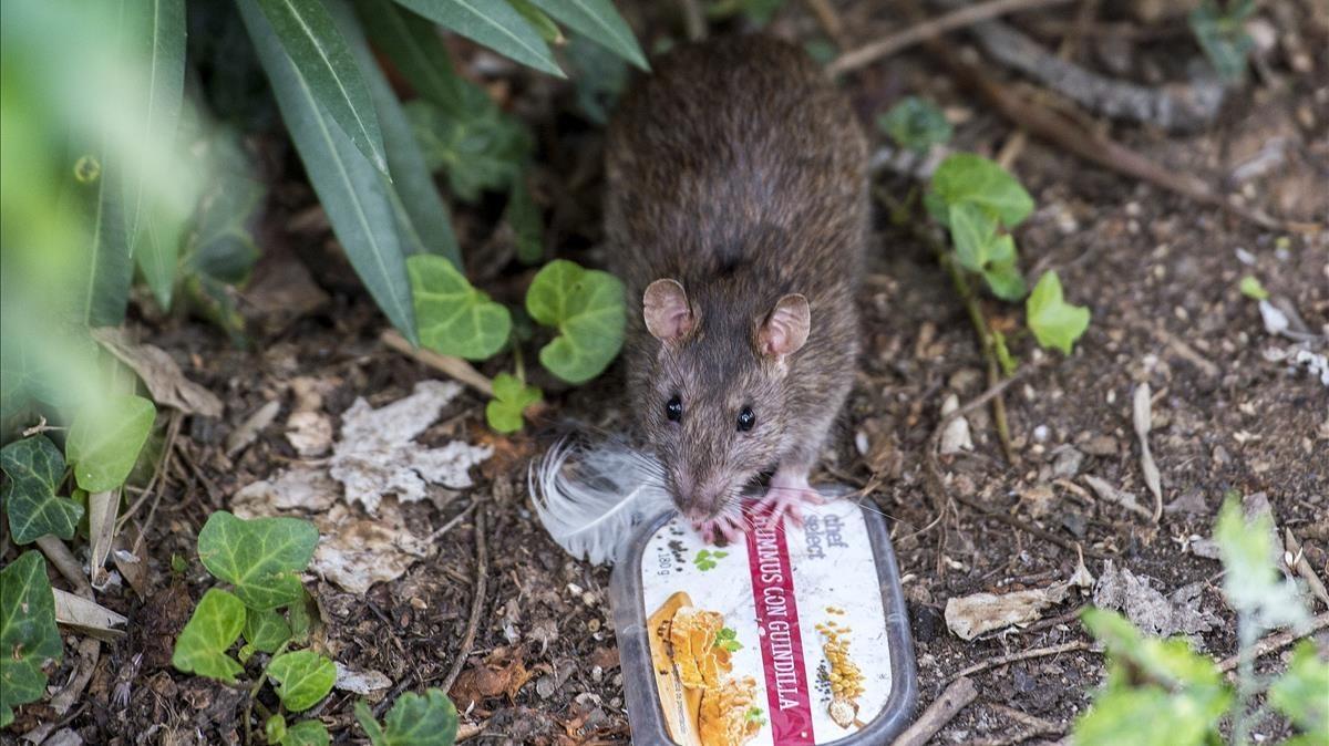 Una rata parda merodeando por el parque de la Ciutadella.