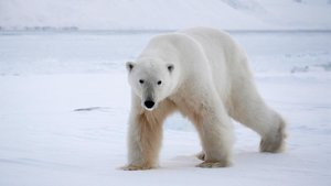 Un oso polar en el archipiélago noruego de Svalbard.