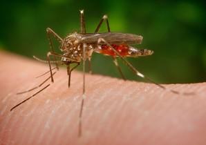 Aedes japonicus.