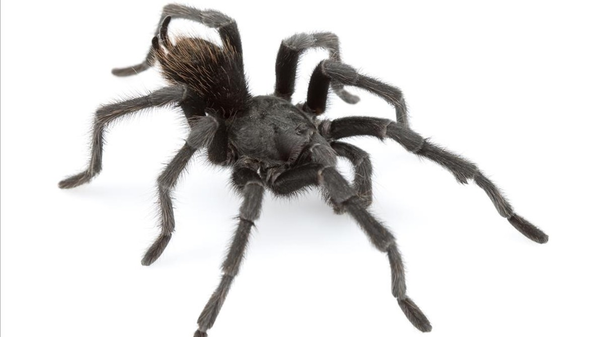 Aphonopelma johnnycashi, una araña recientemente descubierta en California y bautizada en honor al músico Johnny Cash.