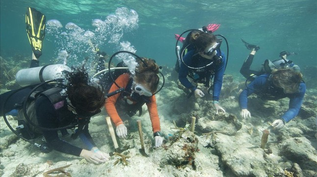 Unosbuzos replantan corales, una de las comunidades más afectadas por la acidificación marina, en unarrecifede los Cayos de Florida.