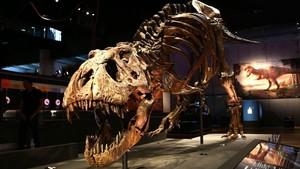 Trix,el esqueleto de 'Tyrannosaurus rex' mejor conservado del mundo, expuesto en Cosmocaixa Barcelona.