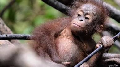 La población de orangutanes de Borneo se ha reducido a la mitad en dos décadas