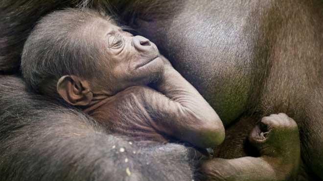 Nace en el zoo de Moscú una cría de una especie de gorila en extinción.
