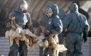 jjubierre36778587 workers gather ducks to be culled in latrille france janua170106135038