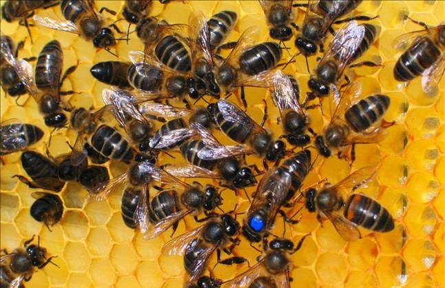 Abejas de una explotación de apicultura.