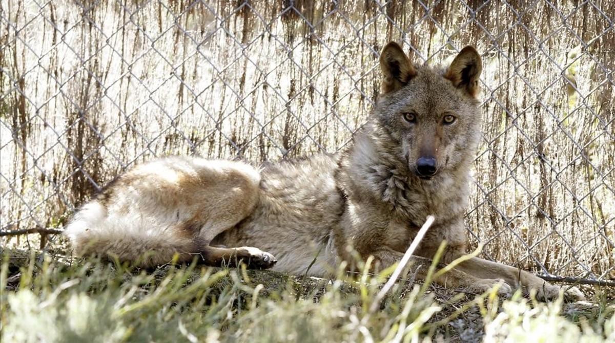 Brasa, una loba encontrada herida en en un incendio en la Sierra de la Culebra, en el Centro de Recuperación del Lobo Ibérico de Robledo (Zamora).