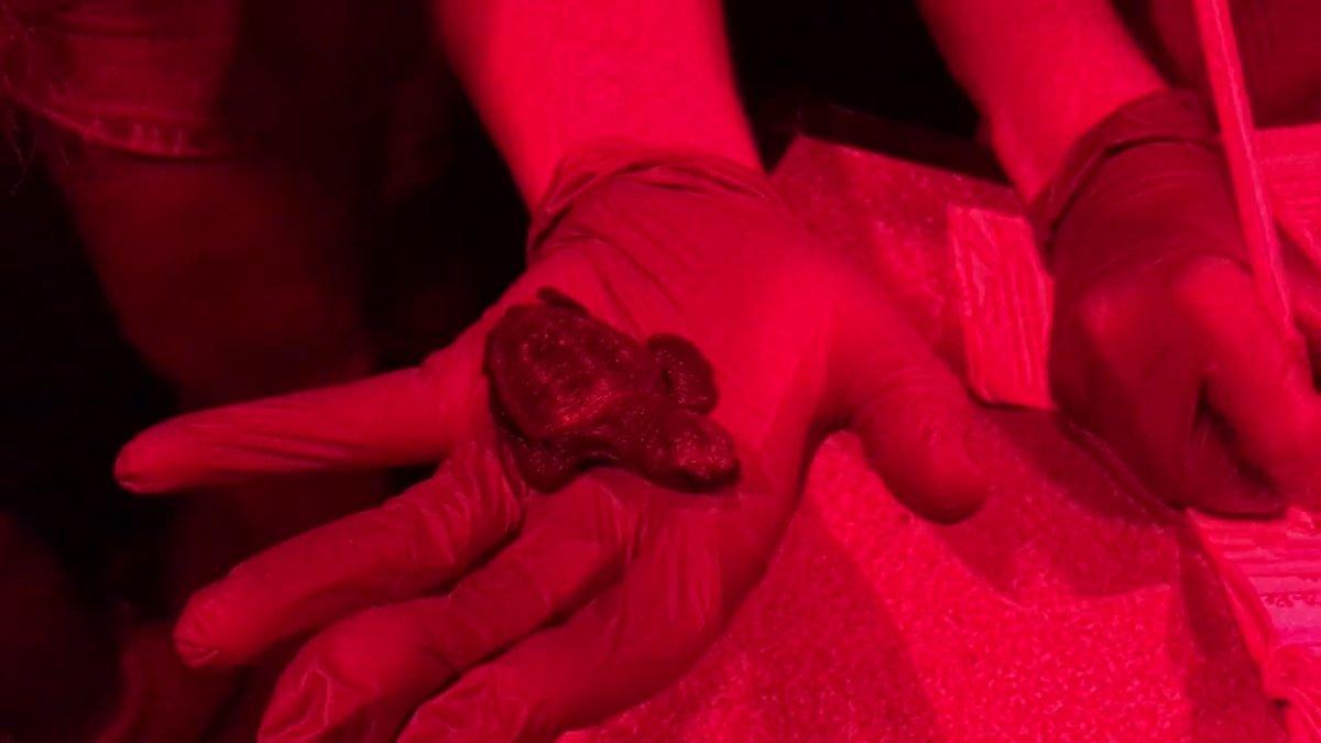 Esta madrugada 5 tortugas marinas del nido de Barcelona han nacido y se está a la espera de que en las próximas noches nazcan más crías.