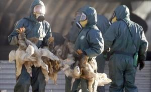 Unos operarios trasladan a unos patos en Grancia para proceder a su sacrificio.