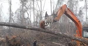 El dramático vídeo de un orangután luchando contra la excavadora que destroza su hábitat