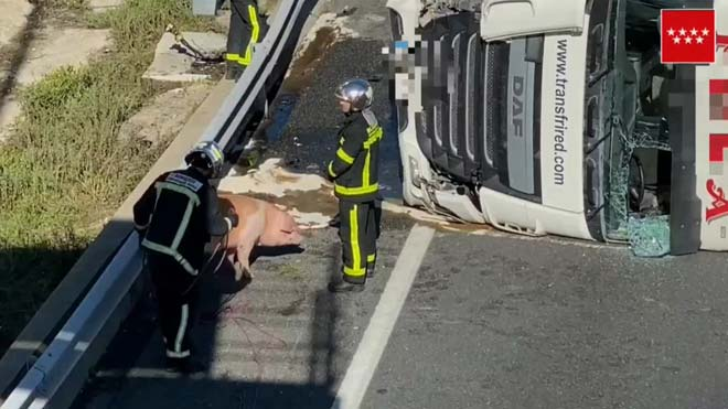 Retenciones en A-6 en Madrid al volcar un camión cargado de cerdos y escaparse algunos.
