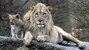 Unos ejemplares de león en una imagen de archivo.