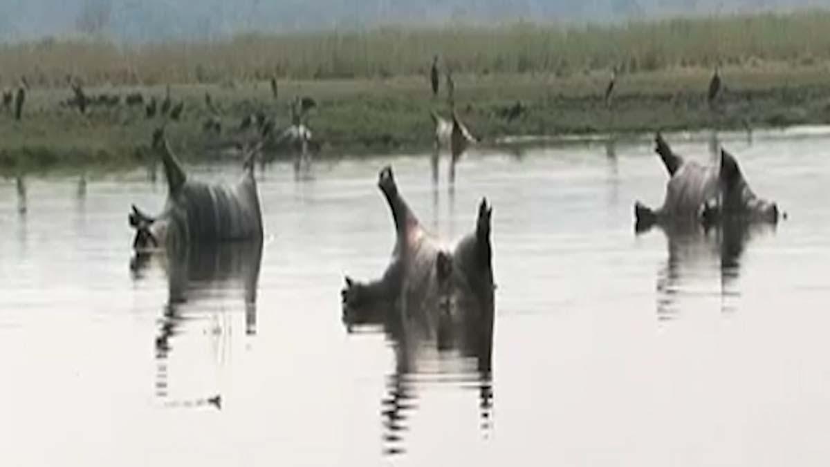 Un brote de ántrax mata a un centenar de hipopótamos en Namibia