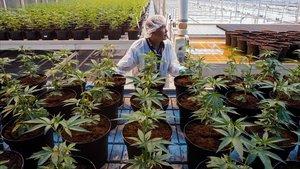 Plantación de marihuana en Lincoln, Ontario, Canadá.
