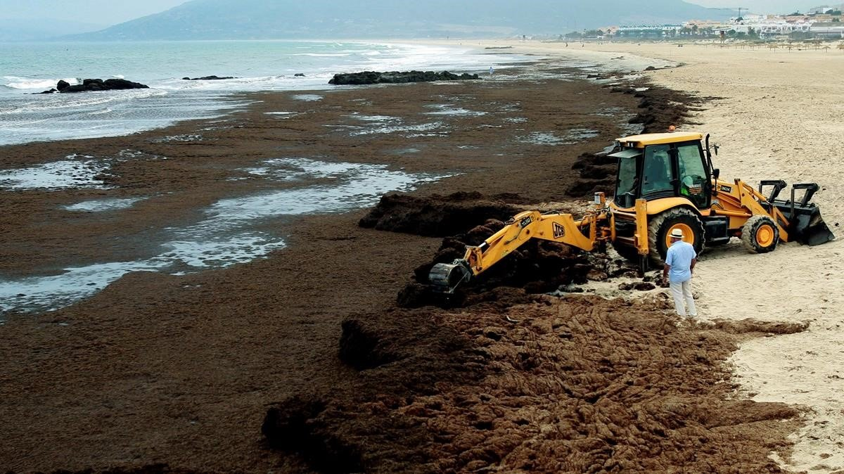 Operarios de la empresa Magimetran S.L. retiranel alga invasora rugulopterix okamuraede la playa de Los Lances,en Tarifa (Cadiz).