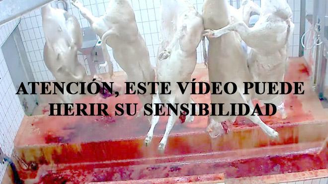 Denuncias de maltrato animal en los mataderos franceses