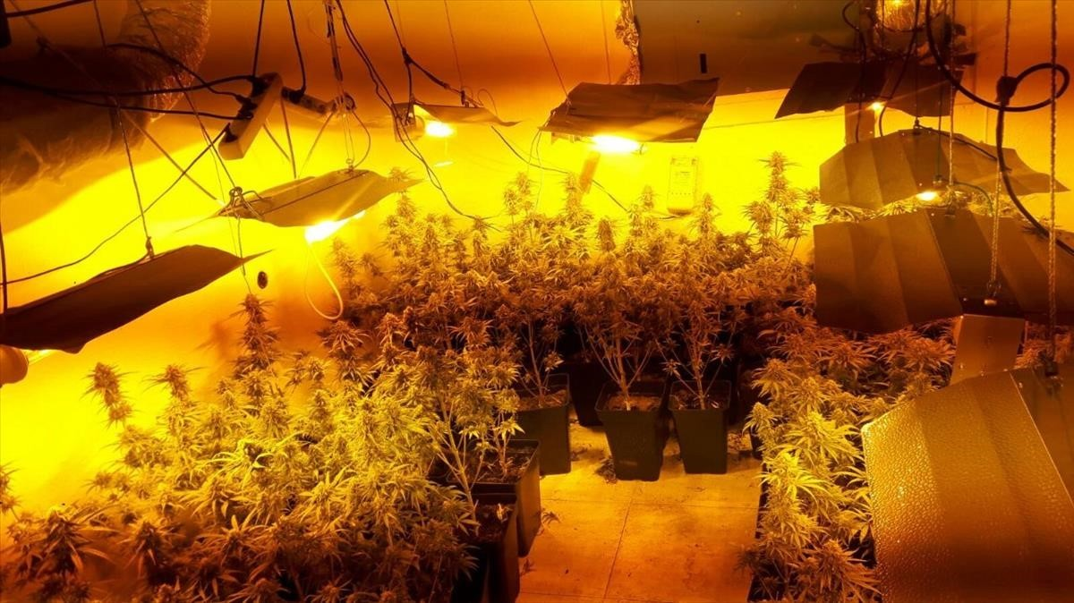zentauroepp41209920 la plantaci de marihuana decomissada en un pis al districte171206101430