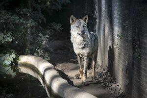 Un lobo, en el Zoo de Barceolona.