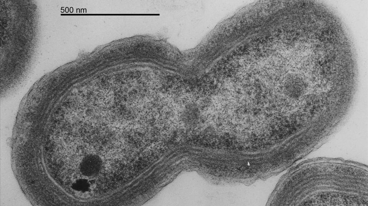 Un ejemplar de Prochlorococcus, género de cianobacterias marinas fotosintéticas.