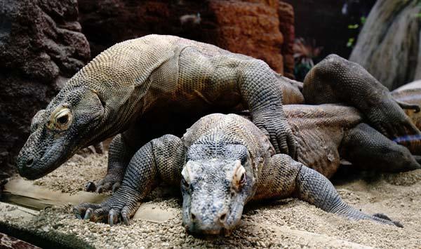 El Dragó de Komodo saparella.