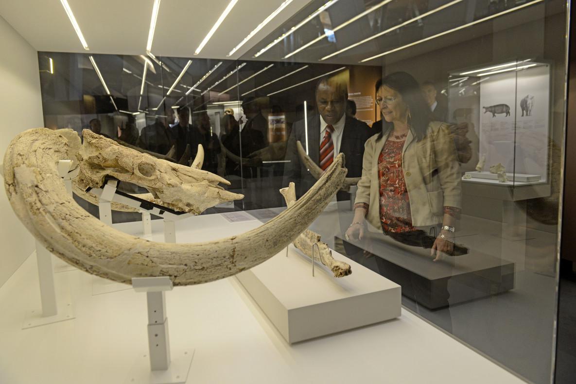 Cráneo y cuernos de Pelorovis oldowayensis, un bóvido ya extinto en la exposiciónLa cuna de la humanidad, enCosmoCaixa. Detrás,Audax Mabulla y Elisa Durán.