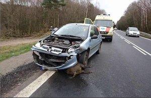 Els accidents de cotxes amb senglars es dupliquen en sis mesos