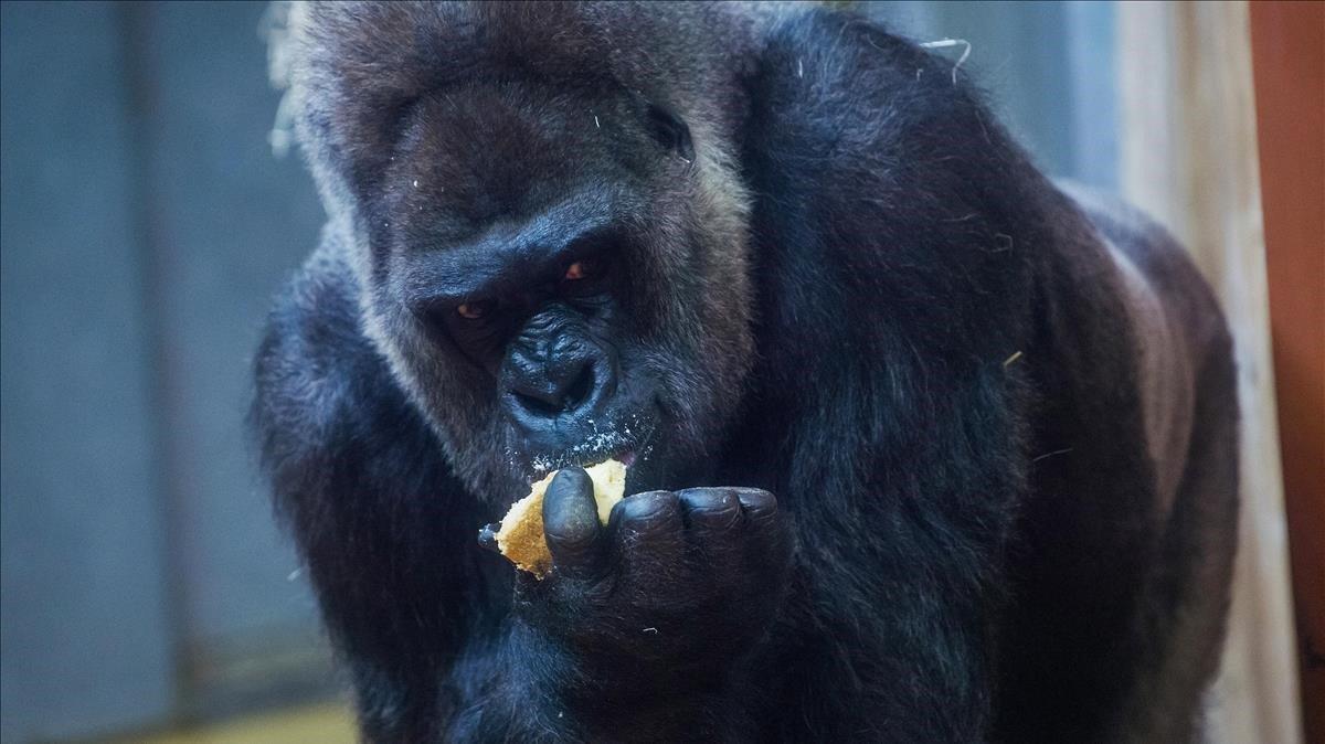 Un gorila en el zoo de Budapest (Hungría).