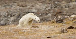 L'esfereïdora mort d'un os polar famèlic en un Àrtic sense neu
