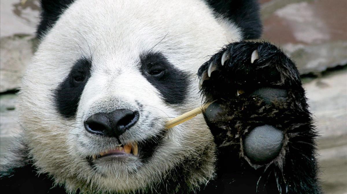 El panda Chuang Chuang, en una imagen tomada en el 2005.