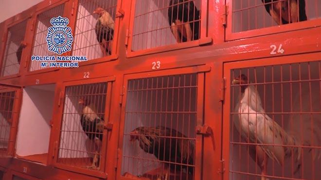 La Policía Nacional interviene en una pelea de gallos con 200 personas en Cádiz.