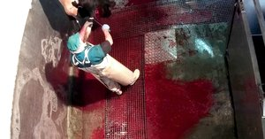 Un trabajador del matadero corta las patas a una vaca que todavía sigue con vida.
