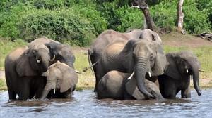 Elefantes en Botsuana.
