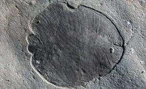 Fósil de Dickinsonia preservado orgánicamente en el Mar Blanco de Rusia