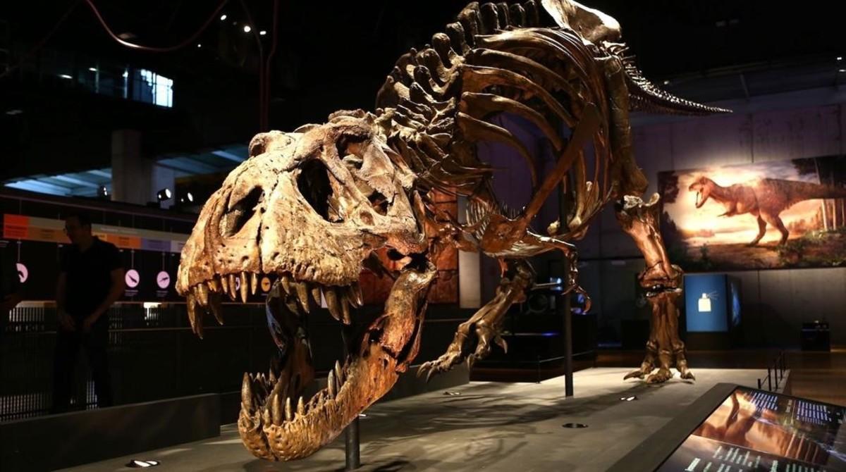 Trix,el esqueleto de tiranosaurio(Tyrannosaurus rex)mejor conservado del mundo, expuesto en Cosmocaixa, en Barcelona.