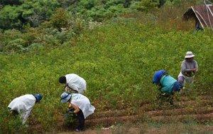 Mujeres indígenas en Bolivia cosechando hoja de coca.