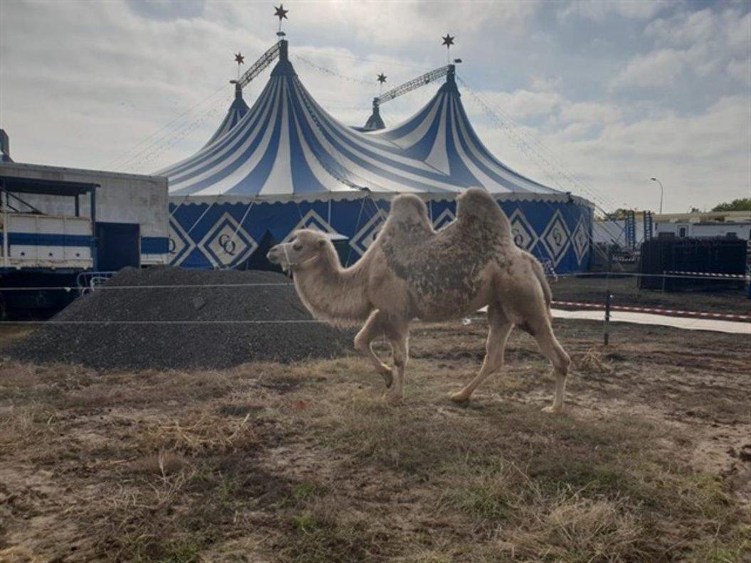 Un camello en el circo Quirós.