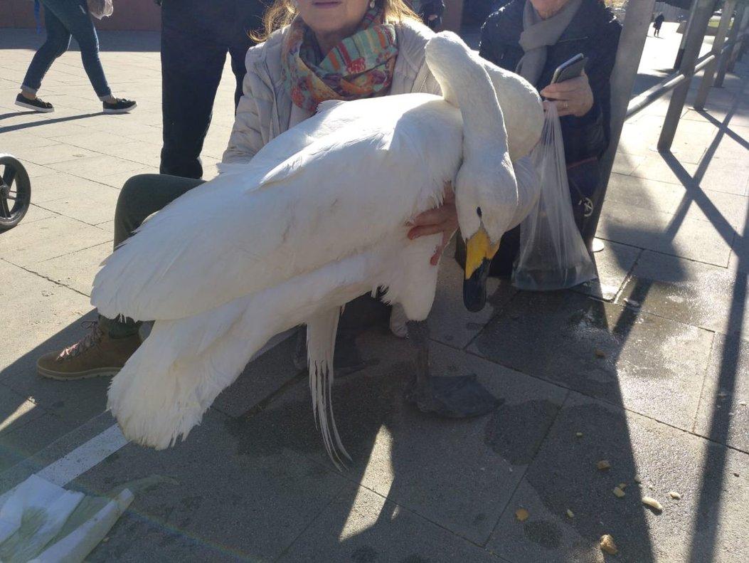 El cisne localizado en el Vall d'Hebron de Barcelona.