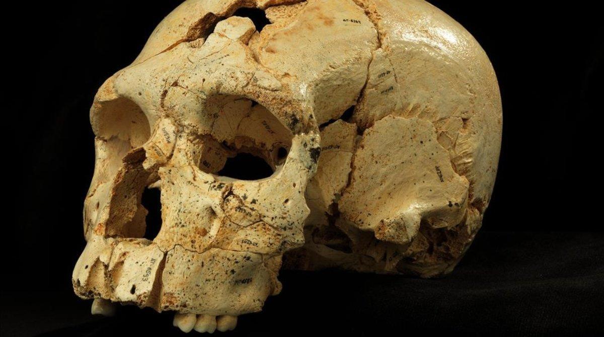 Un cráneo de un homínido.