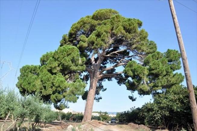 El pino resistente de Vilallonga del Camp