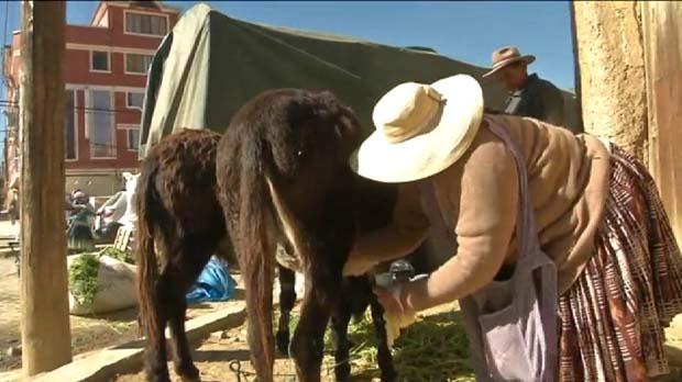 La leche de burra, la milagrosa bebida que cura enfermedades en Bolivia.