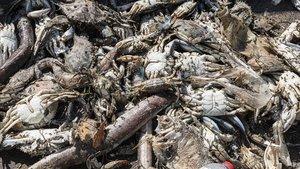 Peces y crustáceos muertos en un contenedor de la playa de La Mota, en el Mar Menor.