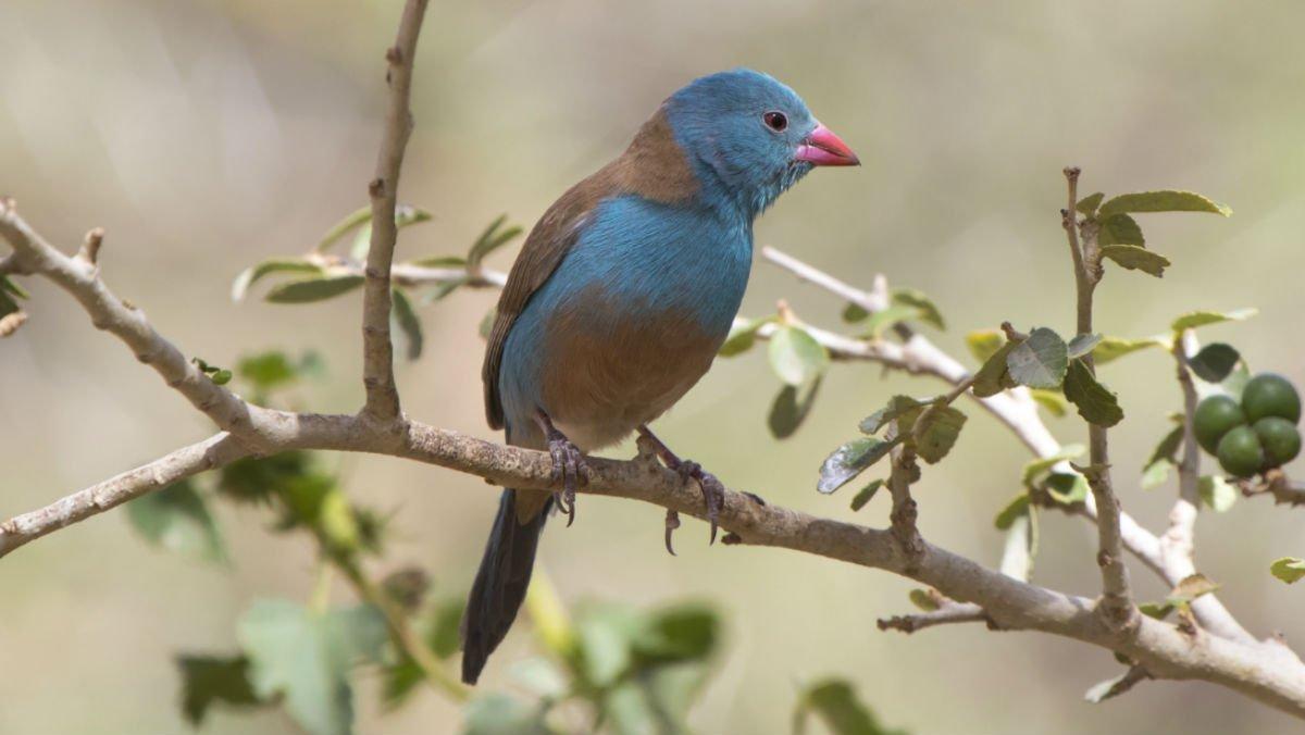 """Els ocells cantadors actuen """"més apassionadament"""" davant d'un públic"""