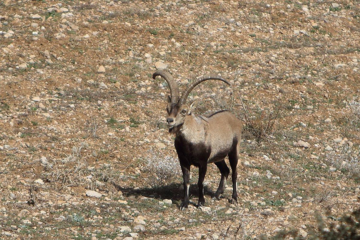 Un ejemplar de cabra hispánica salvaje.