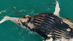 Captura del vídeo en el que los dos tiburones y el cocodrilo devoran a la ballena jorobada frente a las costas de Kimberley, en Australia.