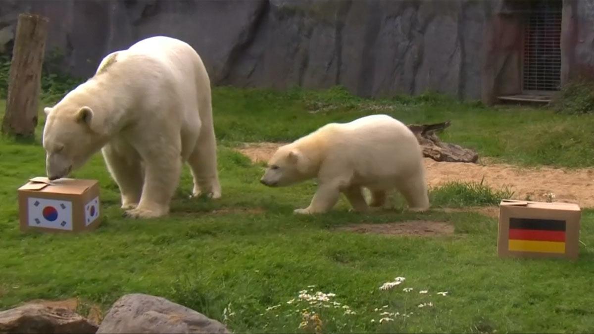 Dos osos de un zoo alemán predicen los resultados de los partidos del Mundial.